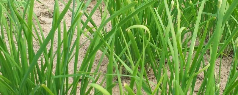 盆栽韭菜的种植方法和时间,是不是每年换一次土