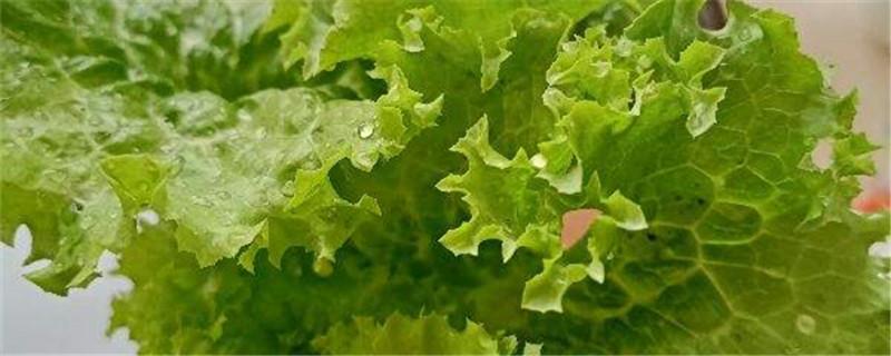 露天种生菜后地干能浇水吗,生菜如何烫水不会黄