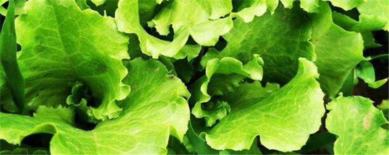 生菜是酸性还是碱性,如何保存时间更长