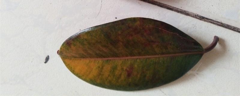 橡皮树掉叶子是怎么回事