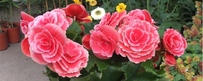 丽格海棠花的养殖方法