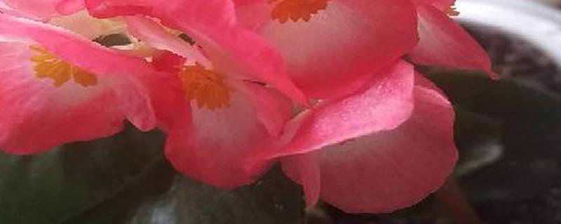 四季海棠花的扦插方法