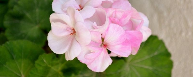 天竺葵的养殖方法及注意事项