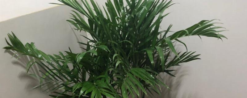 袖珍椰子叶子发黄干枯怎么办