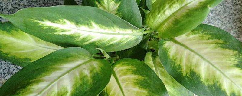 万年青叶子发黄怎么治,怎样让叶子变绿