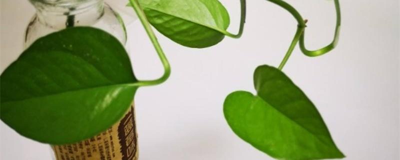 怎么让绿萝的叶子更绿,更茂盛