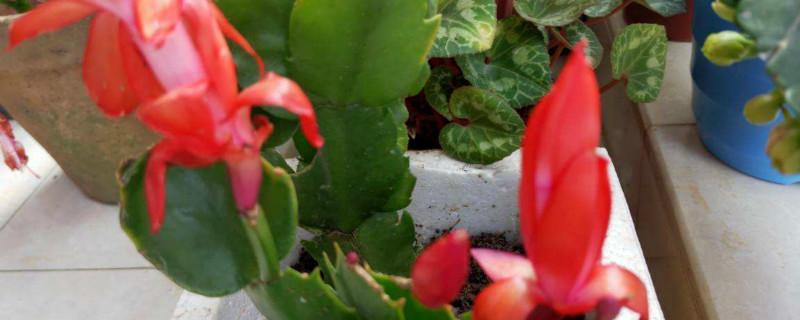 春季蟹爪兰需要翻盆吗,春天开花吗