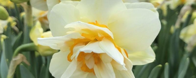 水仙花浇水正确方法,怎么施肥