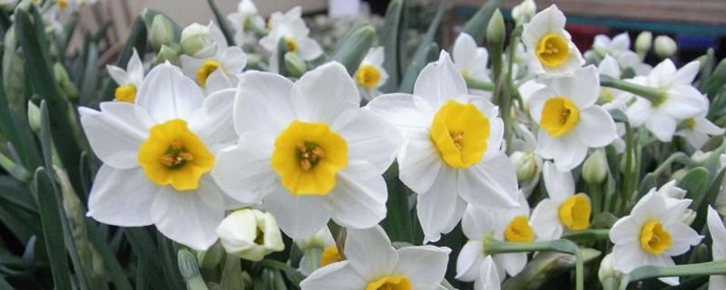 水仙花如何延长花期,水仙花什么时候开花