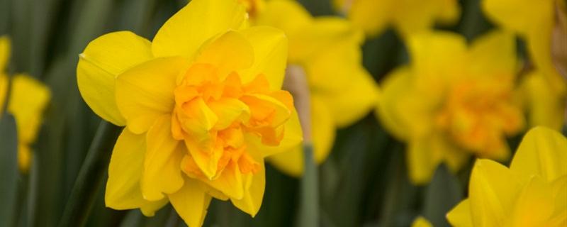 水仙花种球保存的方法,如何挑选水仙花的种球