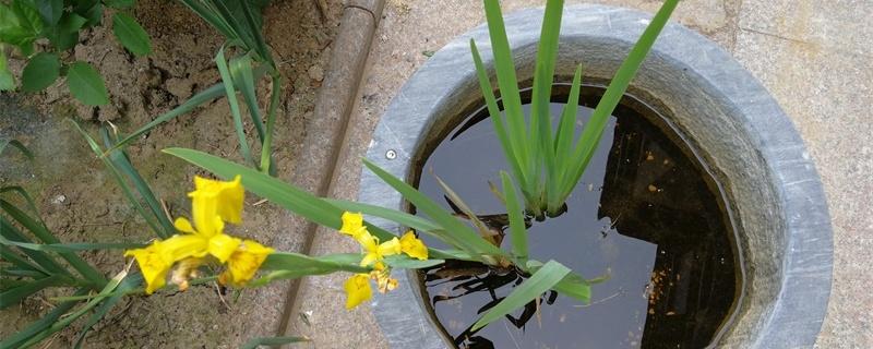 菖蒲花的花语和寓意,有什么传说故事