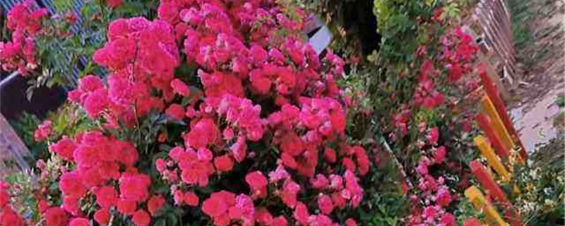 蔷薇的花语和寓意,适合送给什么人