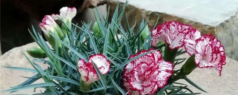 怎么让康乃馨快速开放,有花苞能喷水吗