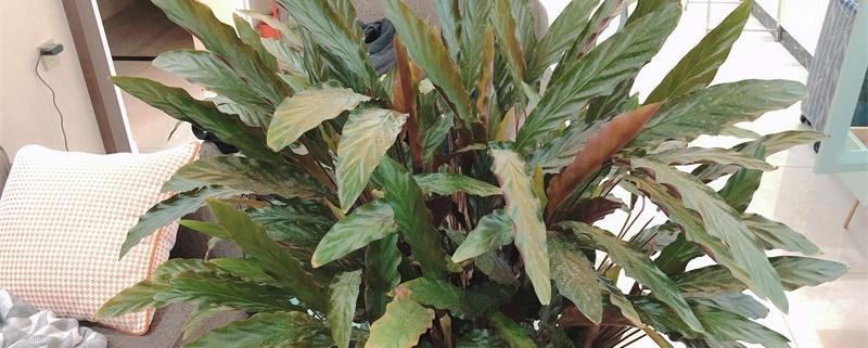 怎么让竹芋颜色又亮又绿,如何养爆盆