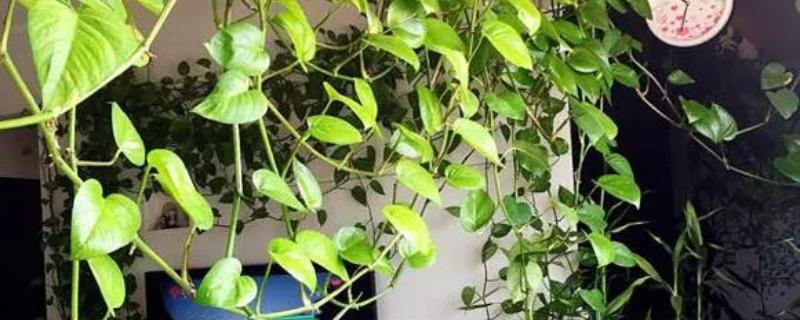 绿萝叶子发黄是什么原因 ,怎么补救