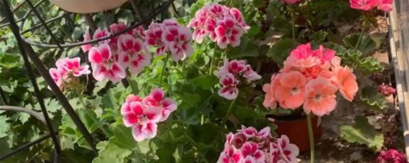 天竺葵的花语和寓意,有什么传说故事