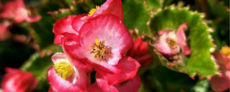 四季海棠的花语和寓意,有什么传说故事