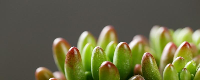 虹之玉锦的养殖方法,掉叶子怎么办