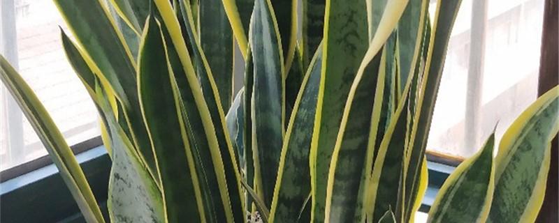 怎么让虎皮兰快速生根,用生根粉泡多久