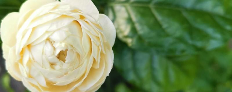 怎么让虎头茉莉爆盆,怎样才能多开花