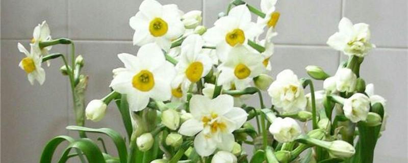 新买的水仙花怎么养