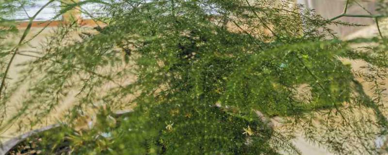 文竹怎么水培,水培多久生根