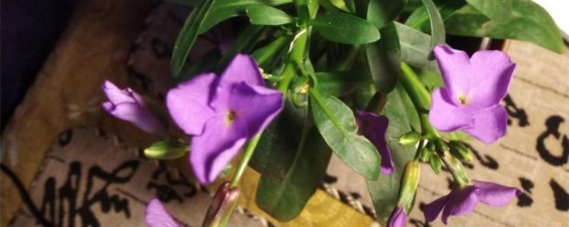 紫罗兰的花语,紫罗兰图片
