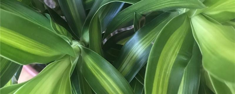 新买的百合竹怎么养