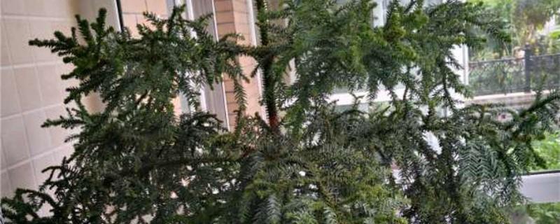 新买的澳洲杉怎么养
