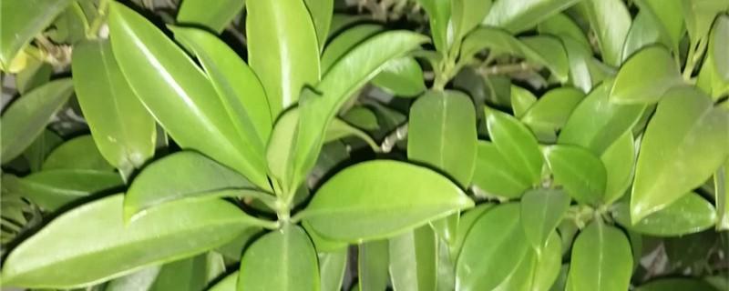 新买的平安树怎么养