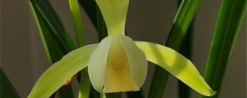 兰花花苞一直不开花的原因和处理方法