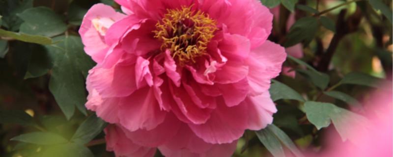 1年牡丹幼苗盆栽注意事项,幼苗几年开花