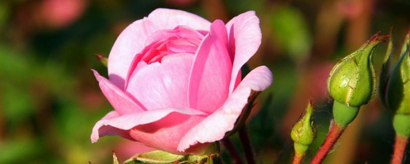 玫瑰花夏天能栽活吗,怎么栽种