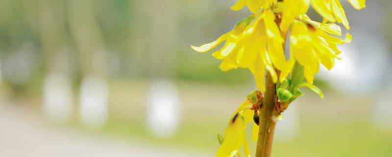 盆栽迎春花的养殖方法和注意事项,如何繁殖