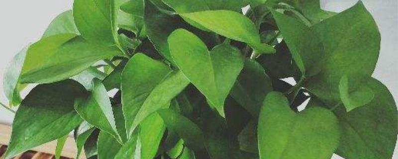 绿萝的功效和作用,家里养绿萝有毒吗