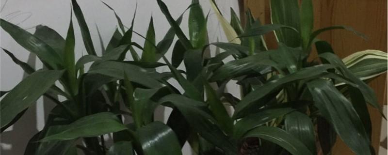 富贵竹可以修剪顶端吗,如何掐尖