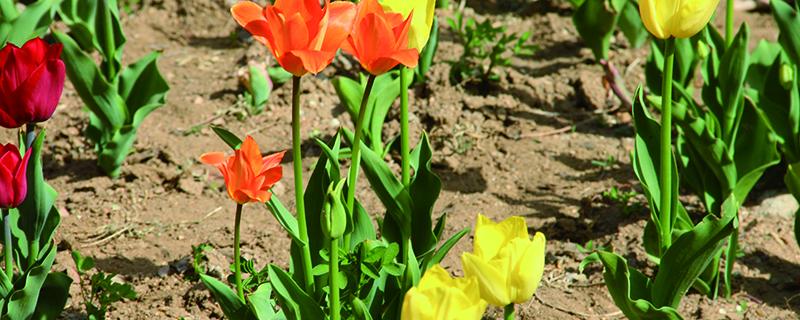 原生郁金香复花好吗,每年都开花吗