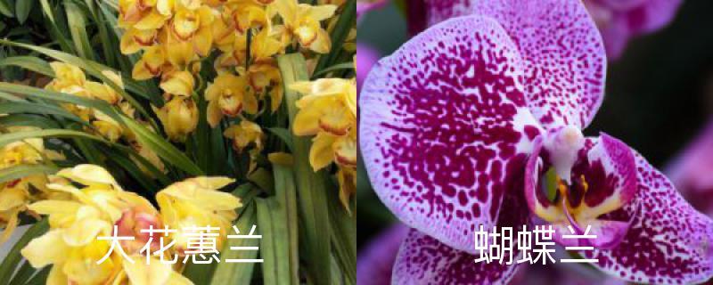 大花蕙兰和蝴蝶兰区别,哪个好养