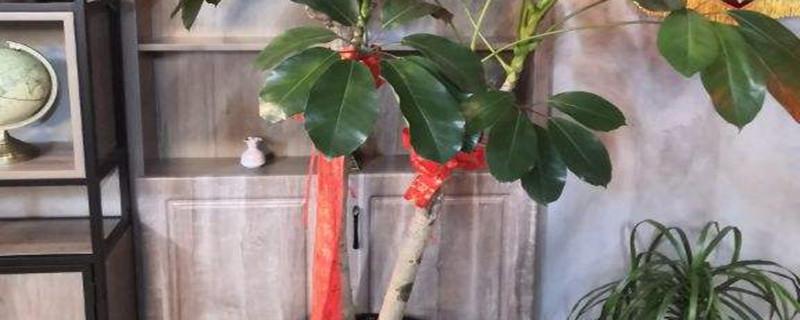 招财树的花朵样子,如何促进开花
