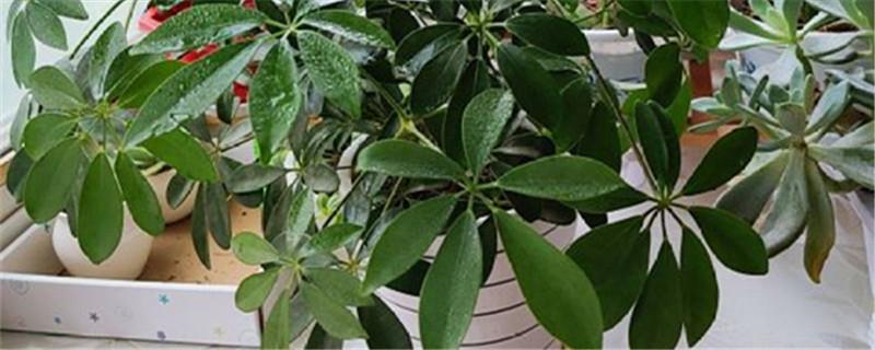 招财树能用淘米水浇吗,有什么注意事项