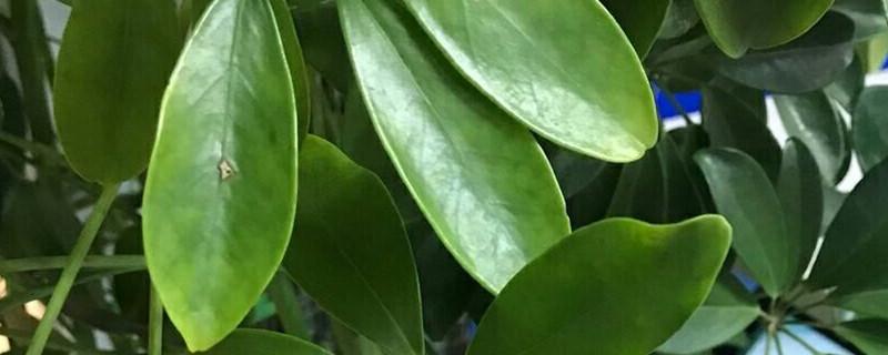 招财树日常怎么养护,有什么注意事项