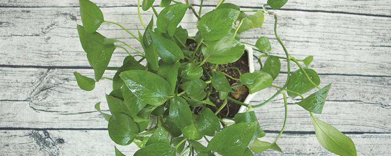 绿萝施肥方法,用什么肥好