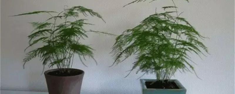 怎么让文竹多发芽,新芽如何掐尖
