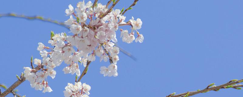 中国樱花开花时间,和日本樱花有什么区别