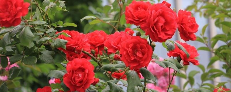 石家庄适合养什么花,市花和市树是什么