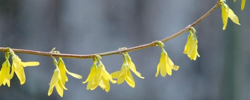 吉林适合养什么花,市花和市树是什么