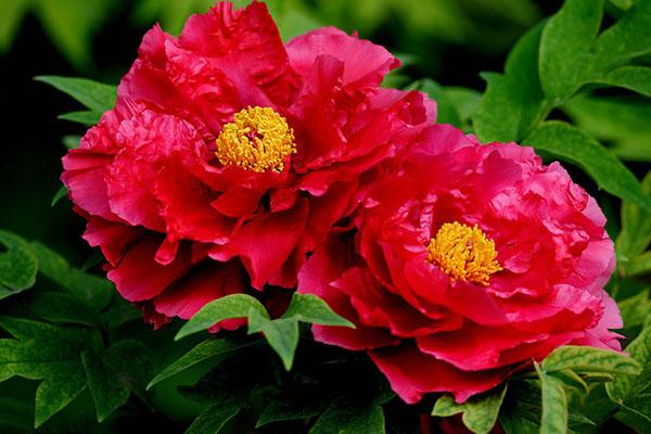 灵蜂飞舞忙寻蜜,待到红遍满园时 ——牡丹
