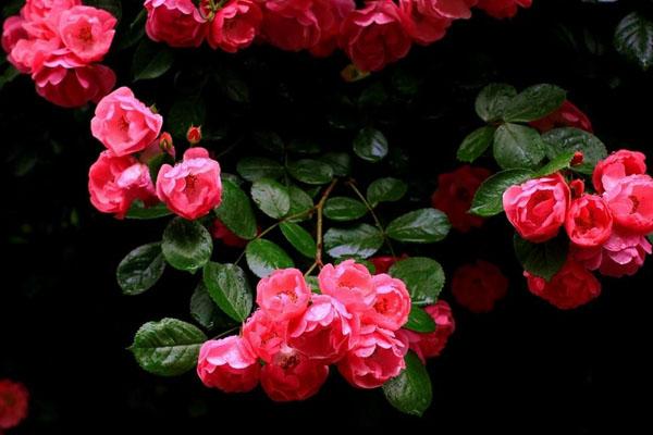 红色蔷薇花