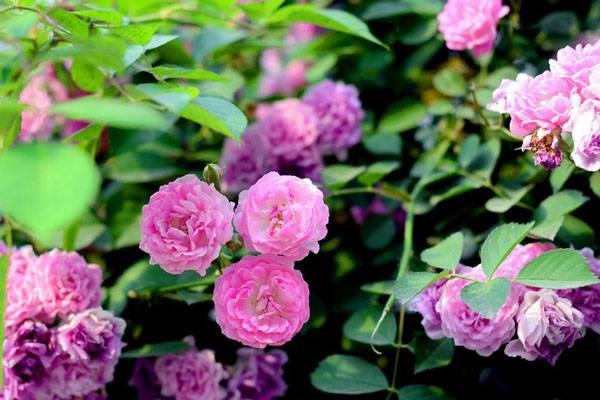蔷薇花开朵朵浪漫