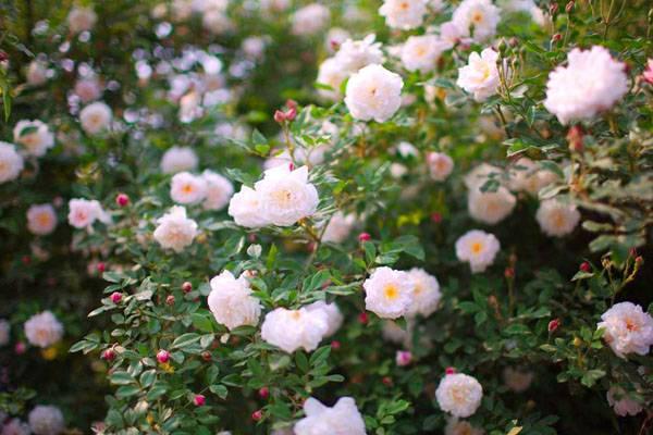 蔷薇花精美图片